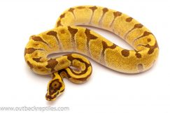 super enchi ball python for sale