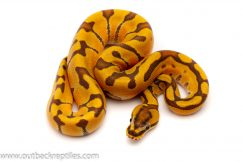 super enchi ghost ball python for sale