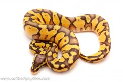 super pastel enchi ball python for sale