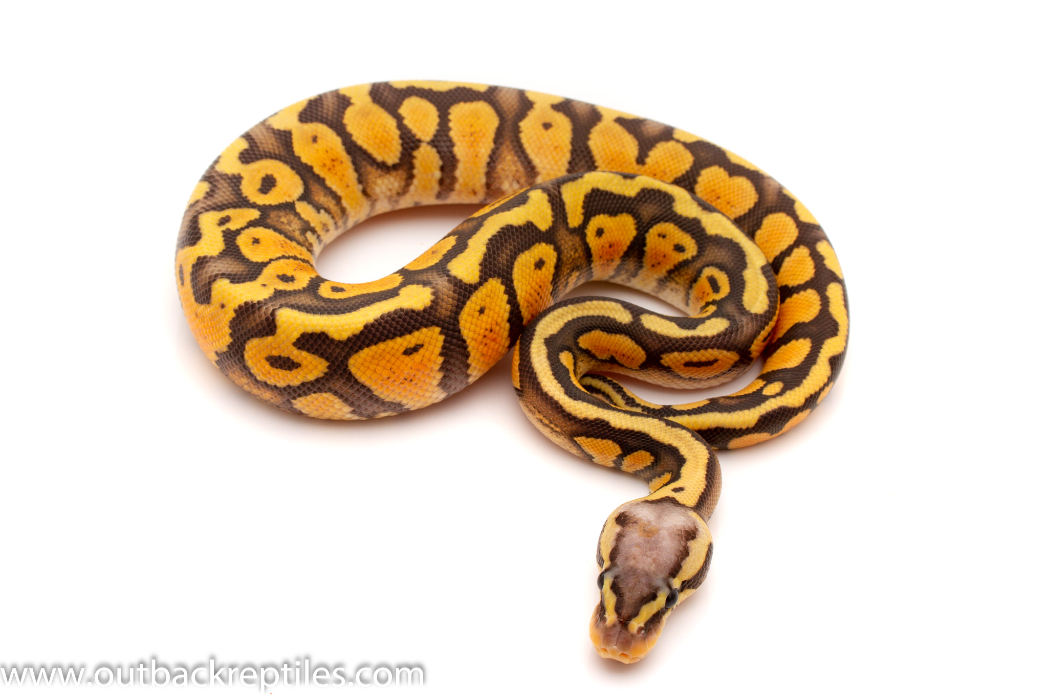 super pastel ghost ball python for sale