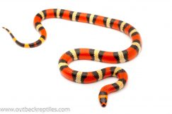 honduran milk snake for sale