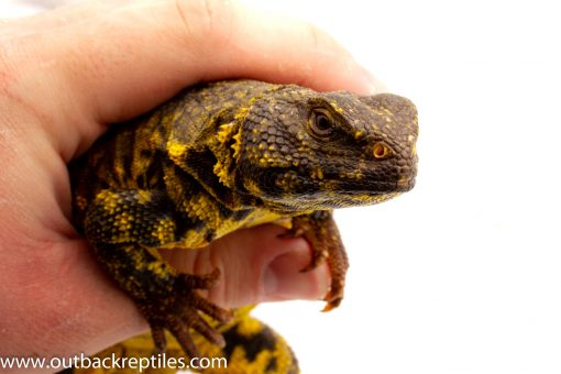 Uromastyx for sale