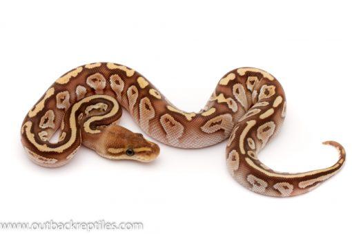 cypress lesser female ball python for sale