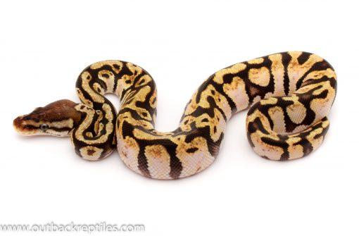 pastel calico ball python for sale