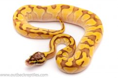 pastel lesser yellowbelly ball python for sale