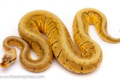 ghi lemonblast ball python for sale