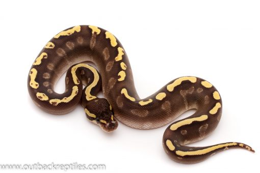 ghi mojave yellow belly ball python for sale