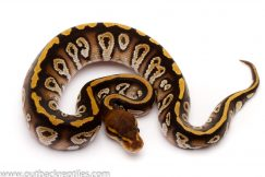 cypress phantom ball python for sale
