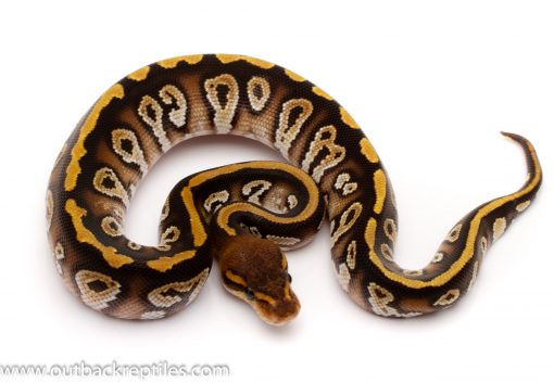 cypress phantom ball python for sale