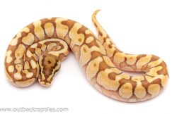 lesser bee poss het clown ball python for sale
