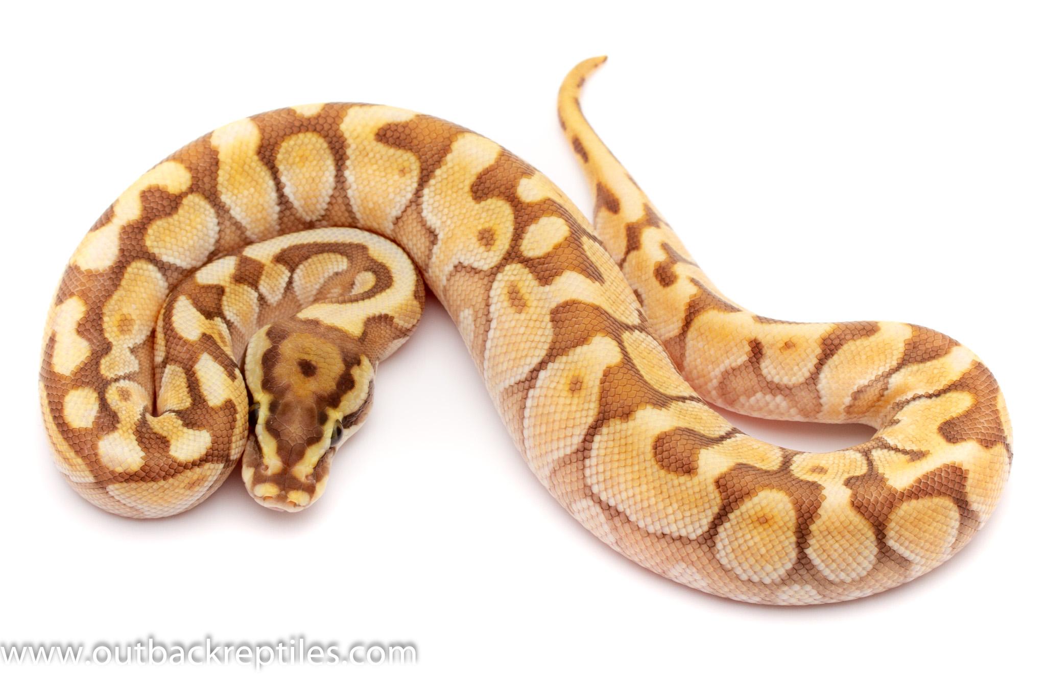 lesser bee poss het clown ball python for sale