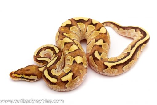lesser enchi fire ball python for sale