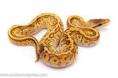 paradox lemonblast ball python for sale