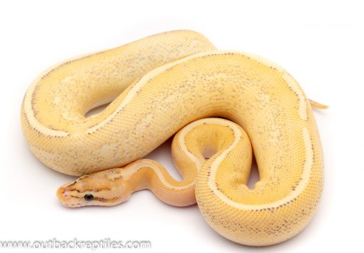 puma ball python for sale