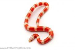 Nelsons Milk Snake