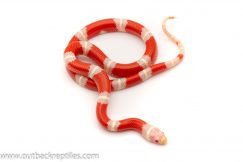 Nelsons Milk Snake for sale