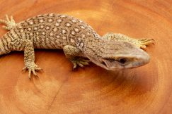 Savannah Monitor for sale