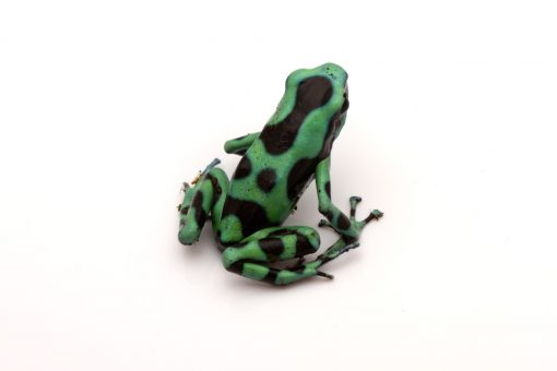 poison dart frog for sale