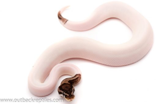 Axanthic Pied ball python for sale