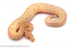 banana clown ball python for sale
