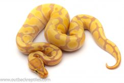 banana ball python for sale
