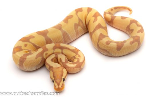 Banana Het clown ball python for sale