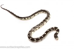 kingsnake for sale