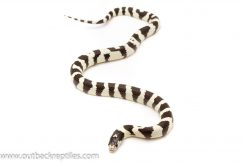 black and white california king snake for sale
