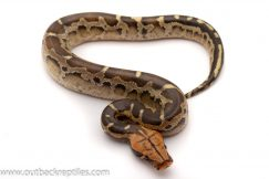 Borneo blood python for sale