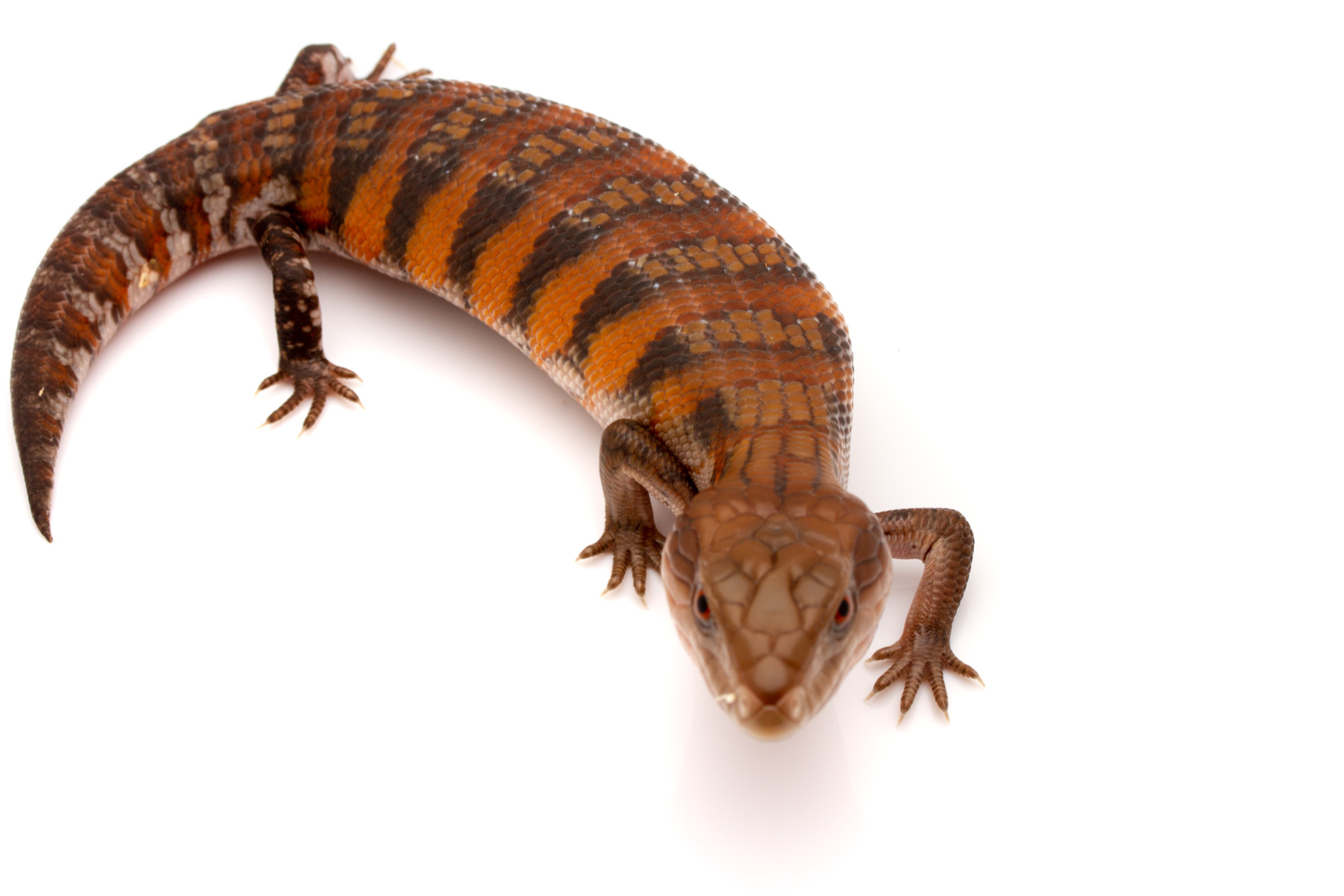 northern blue tongue skink for sale