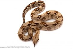 columbian red tail boa for sale