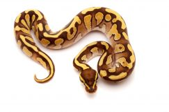 Enchi fire phantom ball python for sale