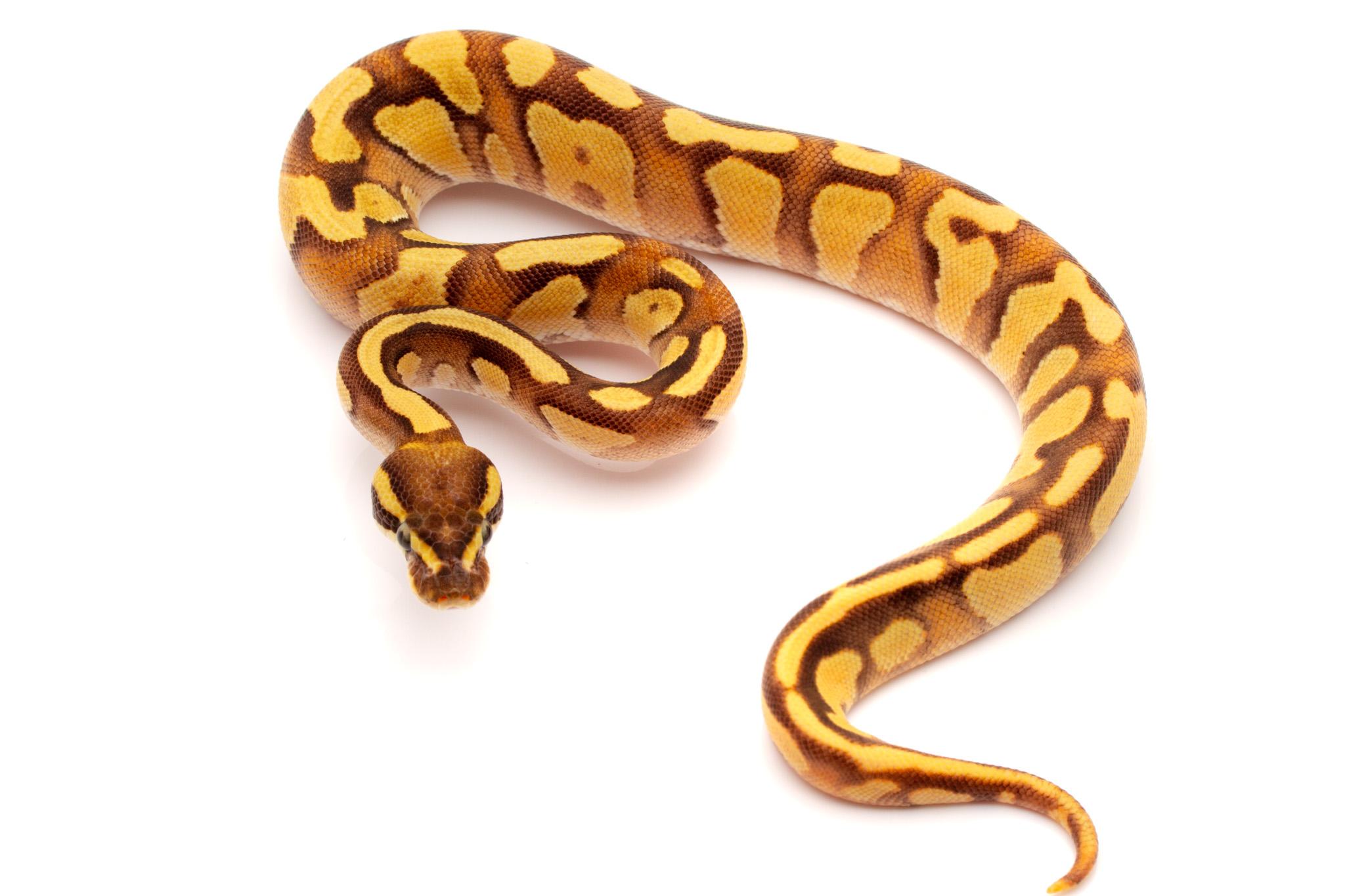 Enchi fire phantom ball python for sale
