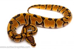 enchi het clown ball python for sale