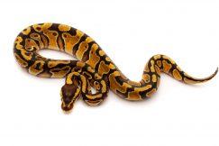 enchi het clown ball python for sale