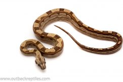 Motley Boa Constrictor for sale