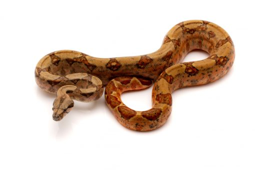 columbian boa for sale