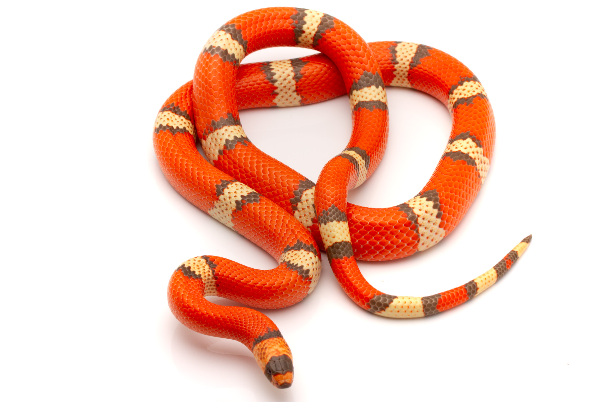 Honduran Milk Snake for sale