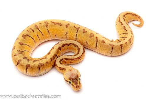 killer blast ball python for sale
