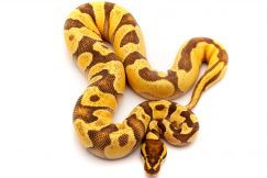 OD Enchi Ball python for sale