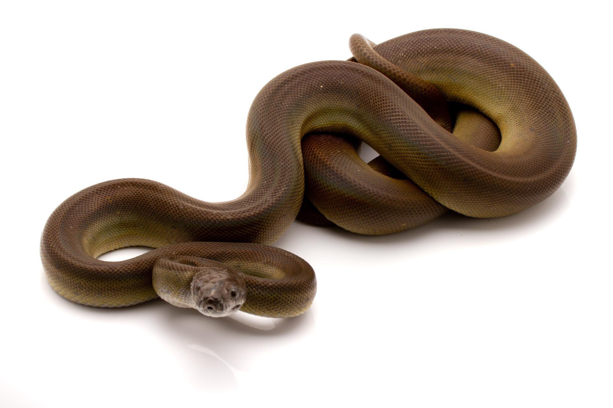 Olive python for sale