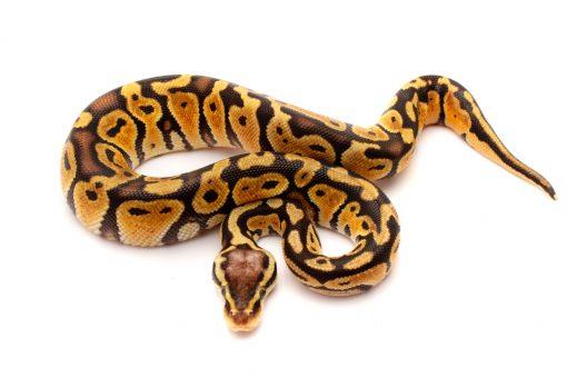 Pastel Het clown ball python for sale