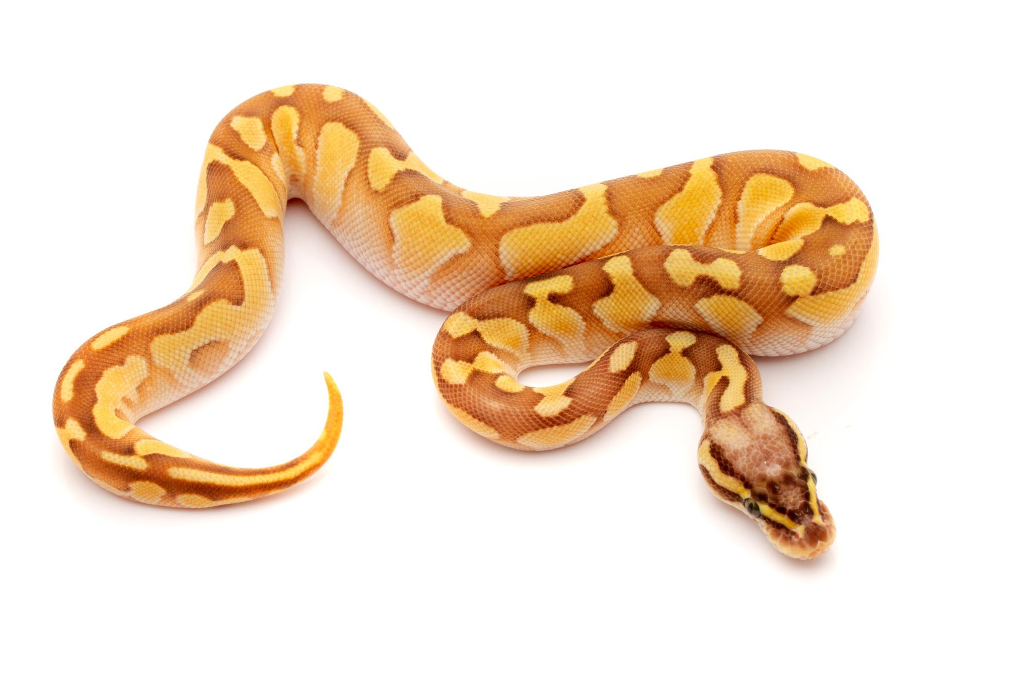 Pastel lesser enchi female