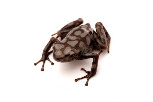 poison dart frog for sale