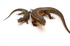 plated lizard for sale