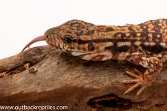 red tegu for sale
