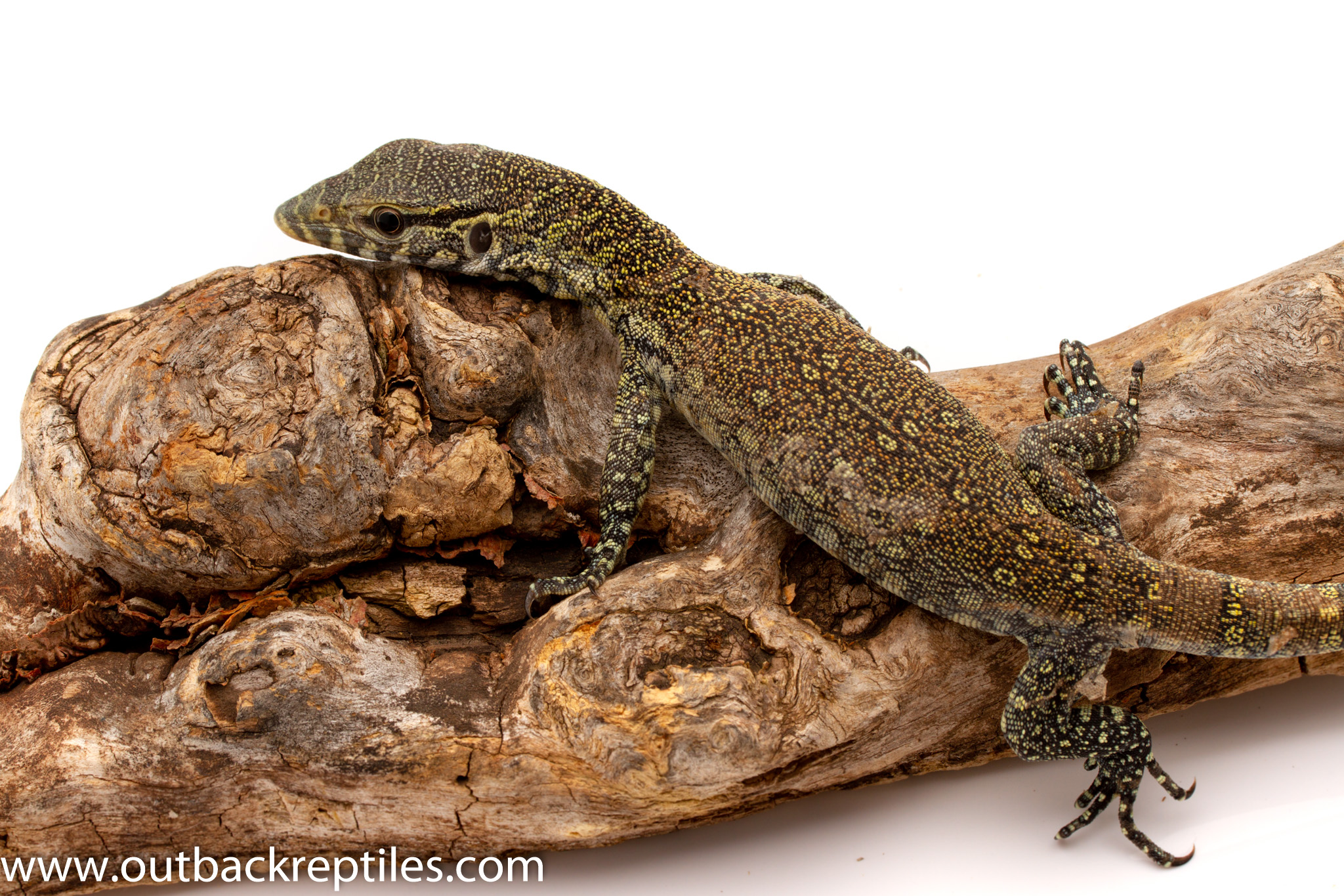 Blue Nile monitor for sale