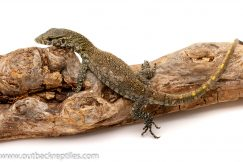Nile Monitor for sale