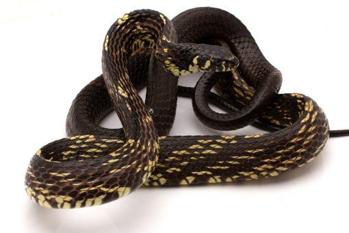 Tiger rat snake for sale
