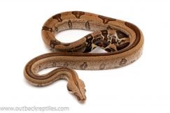 guyana red tail boa for sale